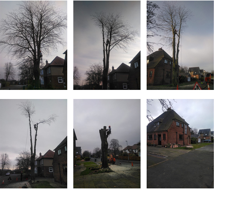 beech tree removal